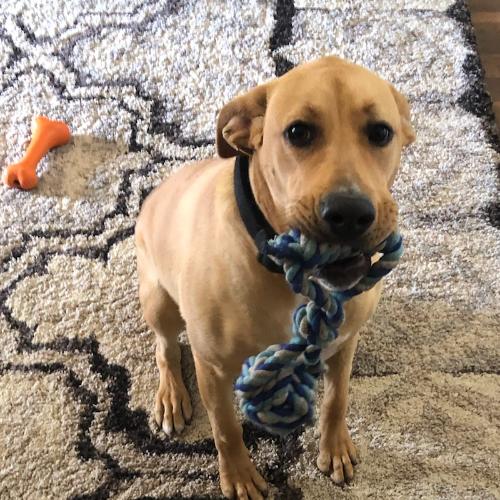 Adopt a Boxer puppy near Dallas, TX | Get Your Pet