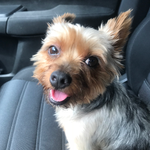 Adopt a Yorkshire Terrier near New York, NY | Get Your Pet