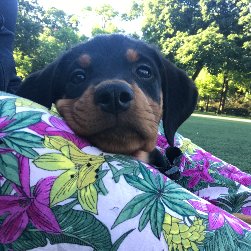 Adopt a Rottweiler puppy near New York, NY | Get Your Pet