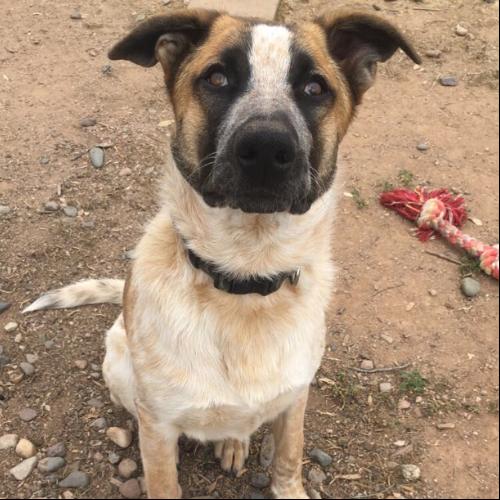 Adopt An Akita Puppy Near Phoenix, AZ