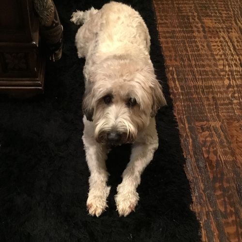 Adopt A Soft Coated Wheaten Terrier