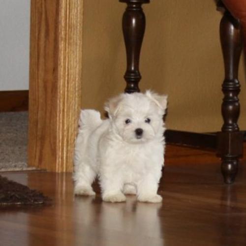 Adopt A Maltese Puppy Near New York Ny