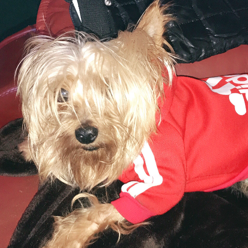 Adopt A Yorkshire Terrier Near New York Ny Get Your Pet