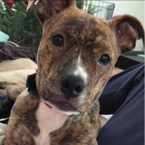 Adopt an American Staffordshire Terrier near Boston, MA