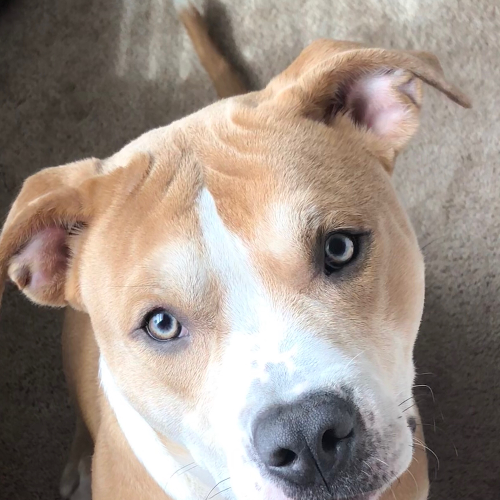 Craigslist Dogs For Adoption