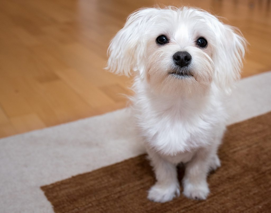 maltese dogs information about the breed get your pet