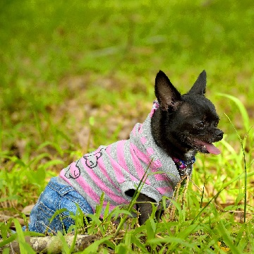 a Chihuahua in a striped hoodie smiles in a Los Angeles park