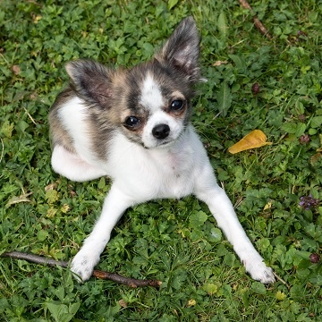 a Chihuahua plays with a twig in a Dallas park