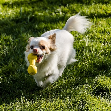 a Chihuahua runs with a yellow chew toy in a Los Angeles park