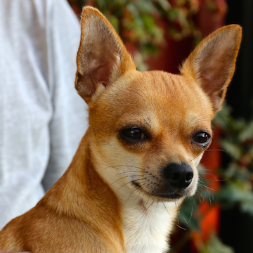 a Chihuahua smiling while being held by owner in Dallas