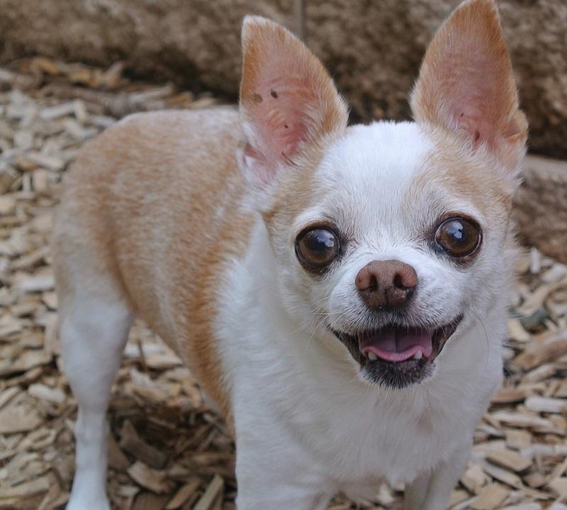 A Chihuahua stands in mulch near LA (near Los Angeles)