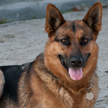 Adopt or Rehome a German Shepherd in Dallas | Get Your Pet