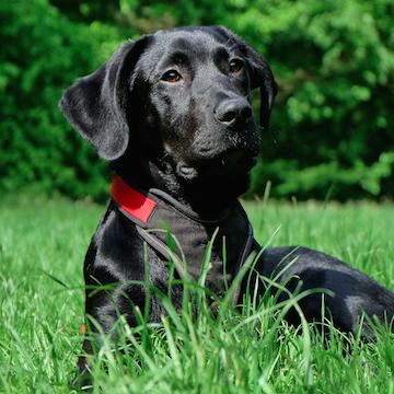 a Labrador Retriever resting in a Dallas yard