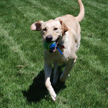 a Labrador Retriever running with a ball in a Los Angeles area park