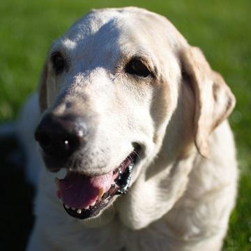 an old Labrador Retriever smiling in grass near Los Angeles