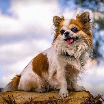 a long haired Chihuahua sits on a tree stump near Los Angeles