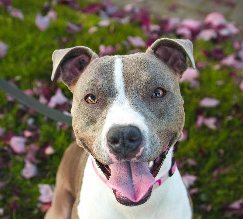 A smiling Pitbull in an LA yard