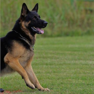 a German Shepherd playing in a field in Atlanta