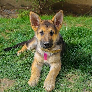 a German Shepherd puppy smiling in Atlanta