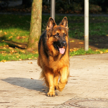 a German Shepherd walking along a trail in Philadelphia
