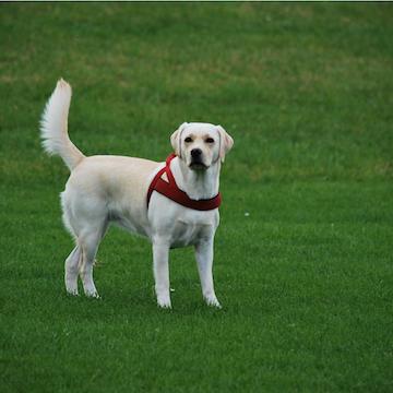 Labrador Retriever smiling in grass near Philadelphia