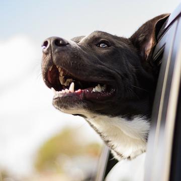 a Pitbull enjoying the car ride breeze through Philadelphia