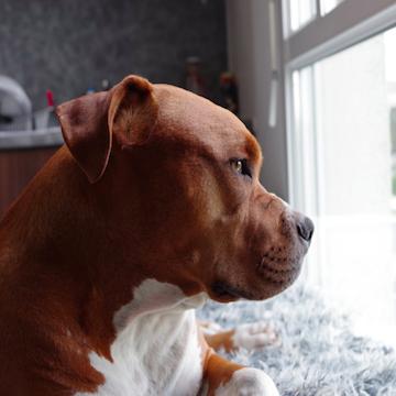 Pit bull waiting for owner in Philadelphia house