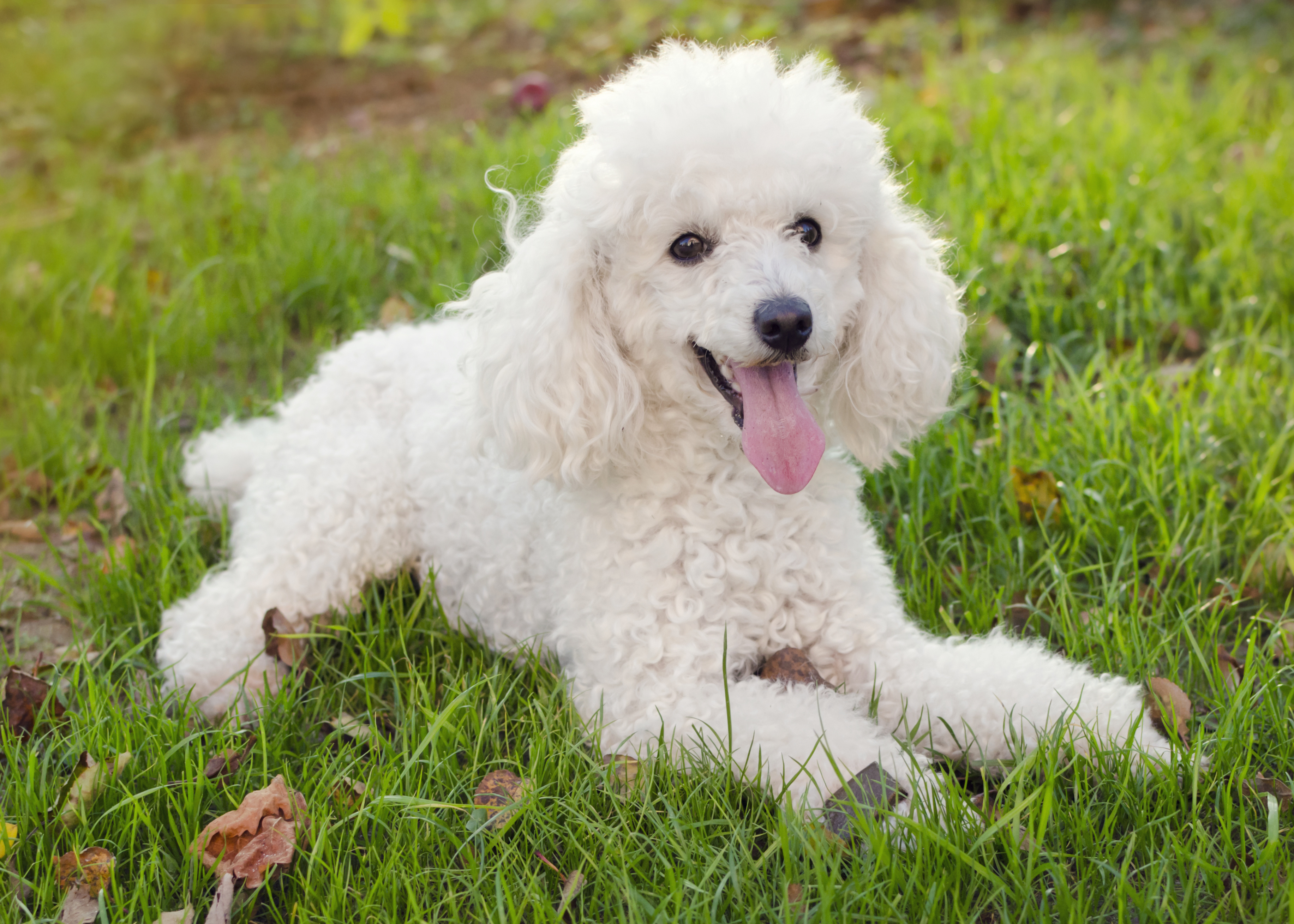 Poodle Breed Info All You Need To Know Get Your Pet