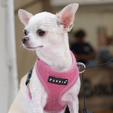 a Chihuahua in a pink sweater in a shopping center in Houston