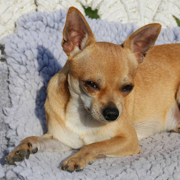 a Chihuahua laying on a blanket in San Frncisco home