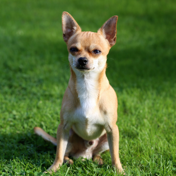 a Chihuahua plays in the grass in a Houston yard