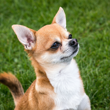 a Chihuahua smiling at owner in a field in San Francisco
