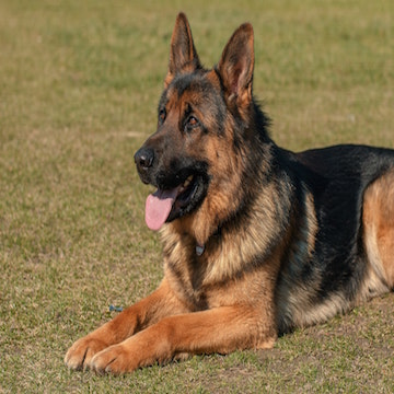 a German Shepherd relaxes after playing in Houston park