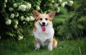 corgi breed