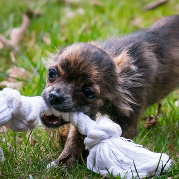 a Chihuahua plays with a toy in San Diego yard