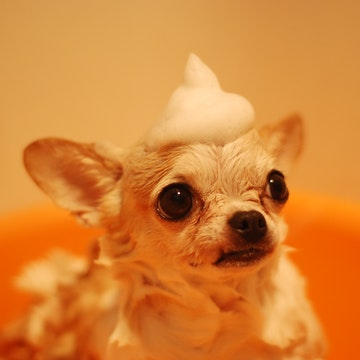 a Chihuahua takes a bath in a San Diego appartment