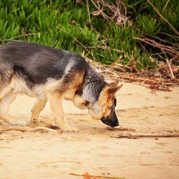a German Shepherd Sniffing on San Diego Beach