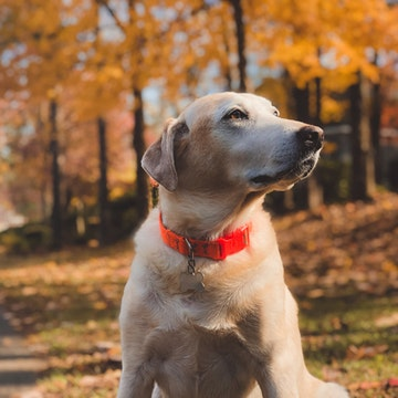 a Labrador with a red collar in a New York park