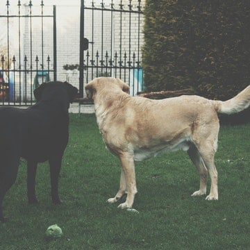 A pair of labrador retrievers playing in a New York park