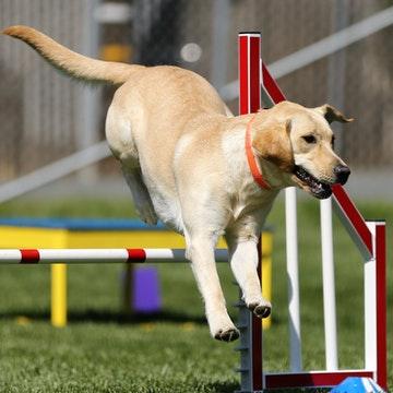 a Labrador Retriever jumping in a Brooklyn park