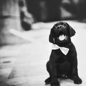 a labrador puppy on a Brooklyn street