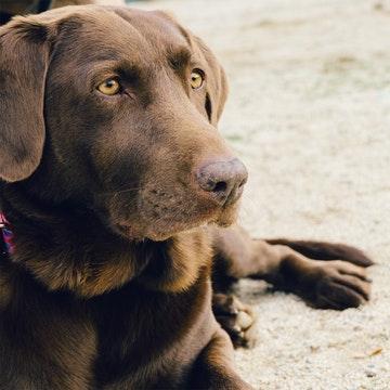 A labrador sitting on a Brooklyn beach