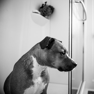 a Pitbull sitting a Brooklyn shower